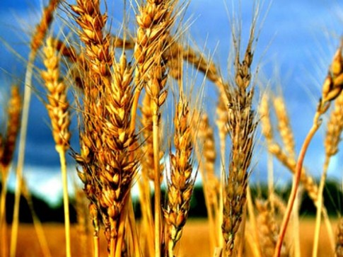 Truyện cổ tích: Cây lúa mạch