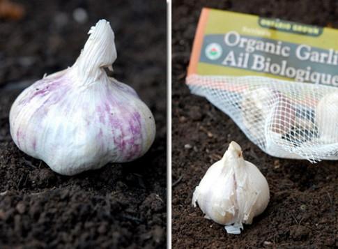 Tự tay trồng tỏi tươi ngon tại nhà