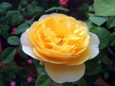 Vẻ đẹp khó cưỡng của các loại hoa hồng
