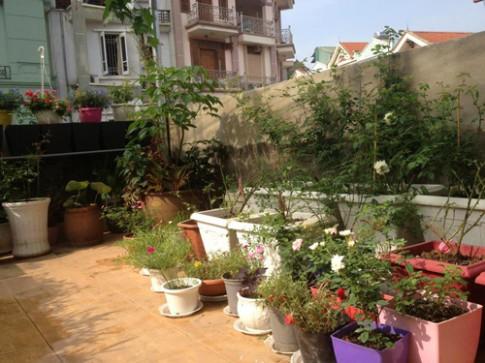Vườn hồng khoe sắc trên sân thượng