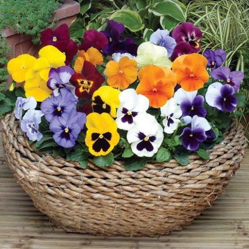 Vườn nhà mùa đông đẹp mê ly với hoa Păng xê
