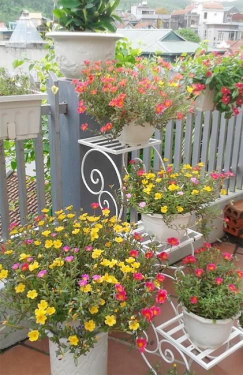 Các loại hoa 10 giờ ngoại đủ màu, dễ trồng
