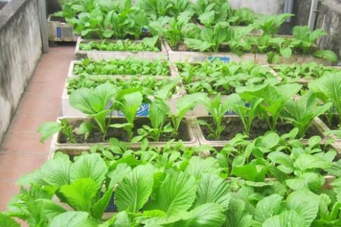 Có nên trồng rau trong thùng xốp?