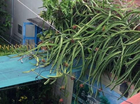 Giàn thanh long trĩu quả trồng ven tường nhà