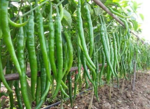 Học trồng ba loại ớt lạ đang 'oanh tạc' vườn nhà Việt