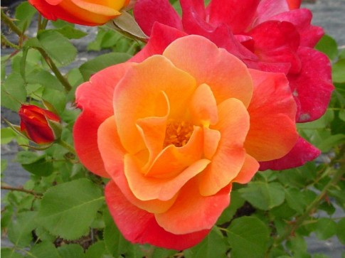 Mê mẩn những loài hoa hồng đẹp nhất trên thế giới