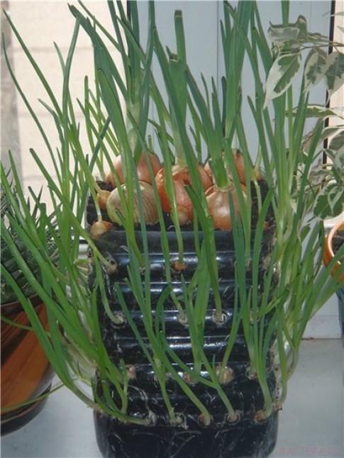 Một bình nhỏ trồng hành đủ ăn cả tuần