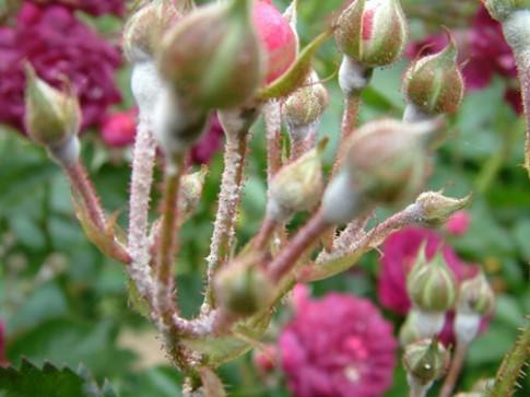 Muối nở giúp hoa hồng khỏe mạnh, 'phọt' nhanh