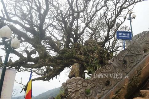 Ngắm cây đại cổ 700 trăm năm ở non thiêng Yên Tử