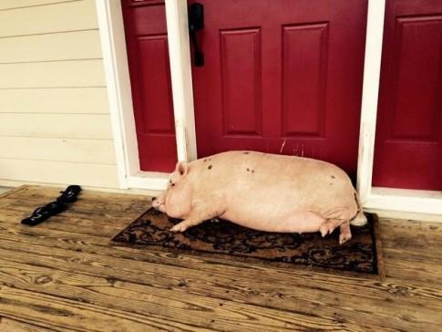Người đàn ông mua đất xây nhà cho hàng chục chú lợn