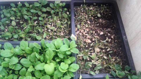 Rau cải trồng ở ban công lụi dần không rõ lý do