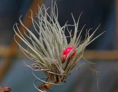Thu mát trồng cây thần kì chỉ sống nhờ không khí