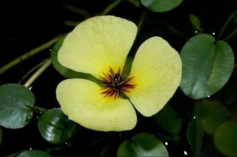 Top loài hoa tuyệt đẹp nở rộ trong chậu nước tại nhà