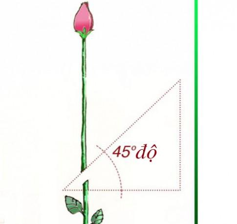 Tuyệt chiêu trồng hồng bằng khoai tây lên hoa rực rỡ