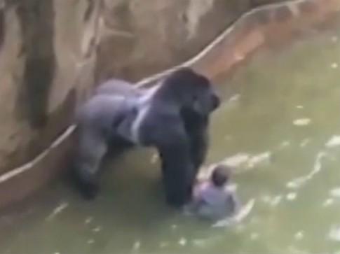Vì sao nước Mỹ xôn xao vụ bắn chết khỉ đột, cứu bé 4 tuổi?