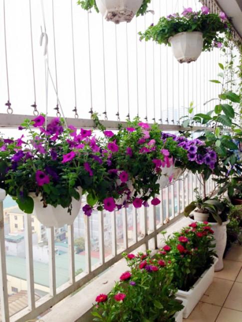 Vườn hoa nở rực ban công nhờ nước gạo