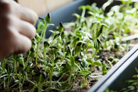 8 mẹo trồng rau mầm gieo lứa nào, gặt lứa đấy