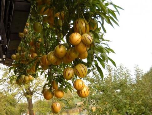Trồng dưa phỉ thúy cho trái ăn thun thút quanh năm
