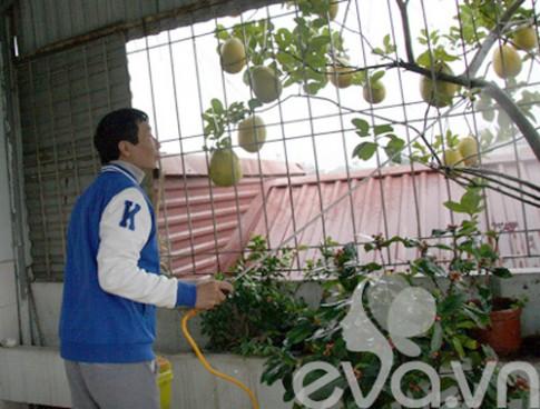 Bưởi trồng thùng xốp trĩu hai chục quả giữa Thủ đô