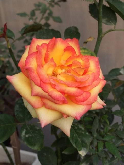 HN: Lạc giữa vườn hồng tình yêu của đôi vợ chồng già
