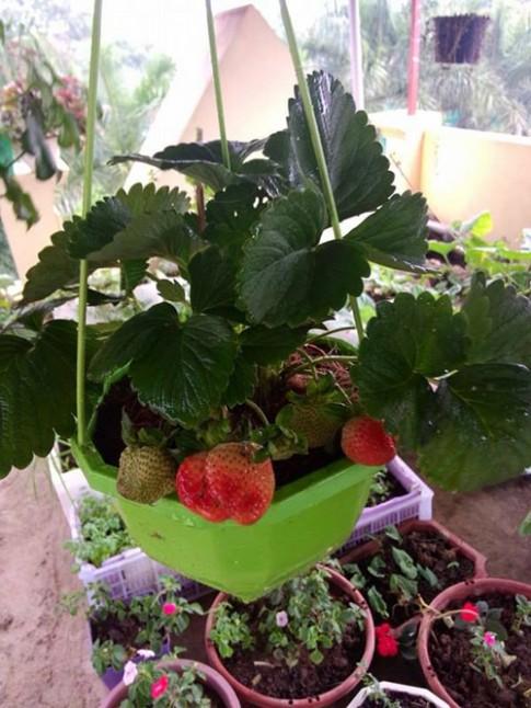 Mẹ trẻ chia sẻ cách trồng 20 cây dâu tây sạch tại nhà