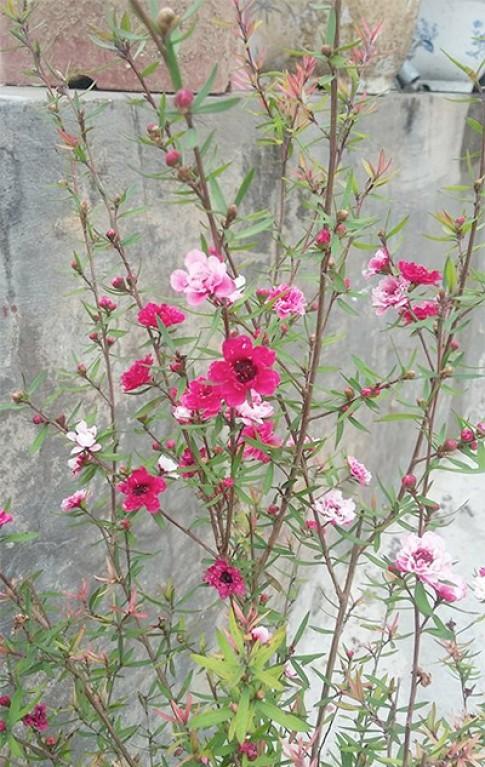 Cây nhất chi mai hiếm hoi có hoa đổi nhiều màu