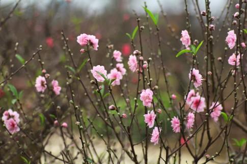 Chọn đào để không rụng hoa quá sớm