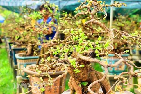"""Mãn nhãn ngắm vẻ đẹp """"hút mắt"""" của gốc mai bonsai Bình Định"""