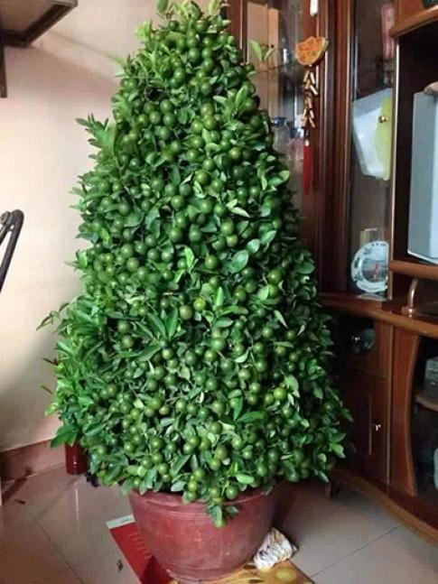 Những cây quất kín đặc quả khiến nhiều người nghi 'hư cấu'