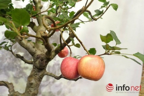 Xuất hiện cây táo cảnh Trung Quốc cực đẹp mắt, không nên ăn, bán chơi Tết
