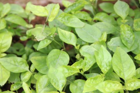 Các loại rau trồng một lần hái quanh năm