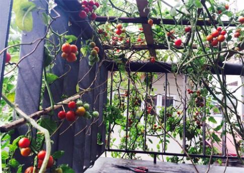 Cây cà chua bi cho vài trăm quả trên sân thượng ở Hà Nội