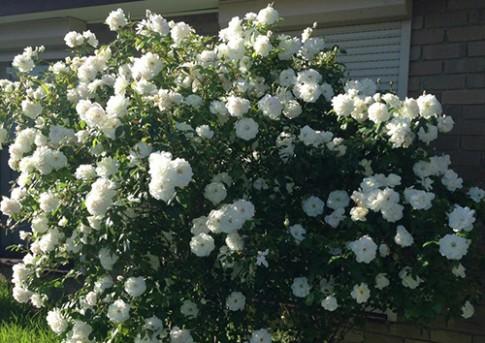 Gia đình có cây hoa hồng trăm bông và giàn nho trĩu quả