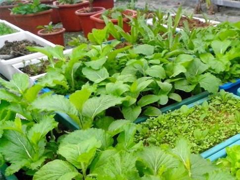 Lý do một số vườn rau chỉ trồng thành công một vụ