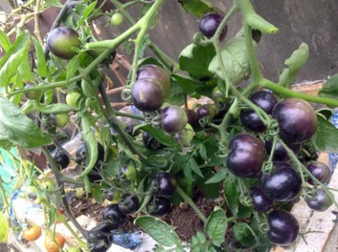 Mẹ 3 con trồng cà chua đen trĩu vườn sân thượng