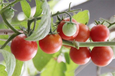 Mẹo rung cây giúp cà chua đậu quả sai trĩu trịt