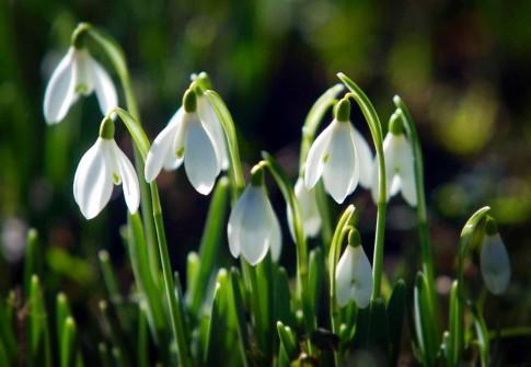 Ngắm hoa tuyết điểm - biểu tượng mùa xuân sang