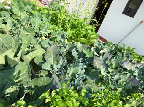 Ngưỡng mộ vườn sân thượng kín 70 thùng rau