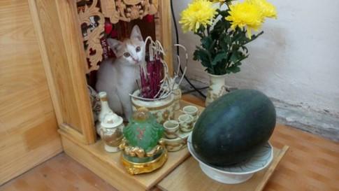 """Những chú mèo thích trèo bàn thờ """"buôn hoa quả"""""""