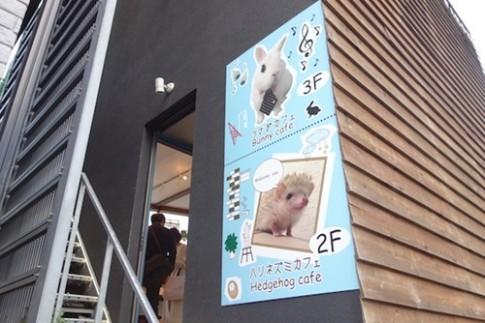 Bên trong quán cà phê nhím độc đáo ở Nhật Bản