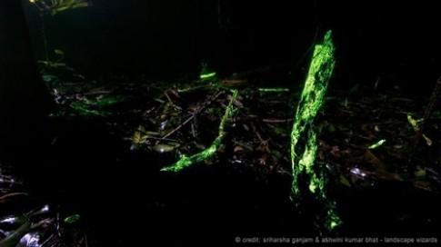 Kỳ lạ khu rừng phát sáng trong đêm ở Ấn Độ
