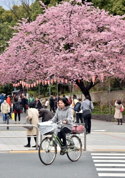 Đắm chìm trong sắc hoa anh đào nở rộ khắp châu Á