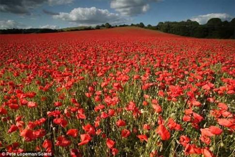 Những cánh đồng hoa tuyệt đẹp ở nước Anh