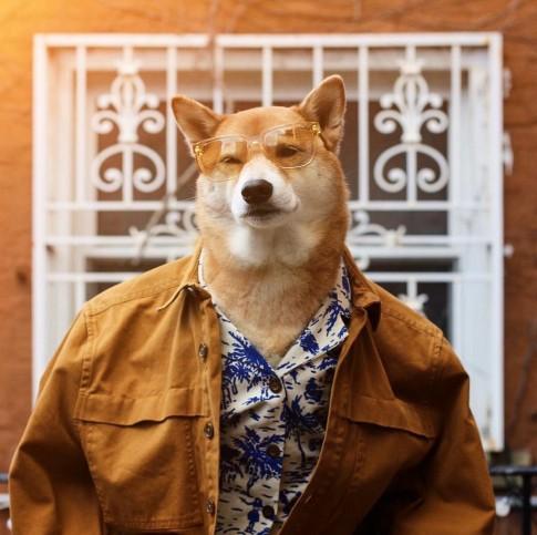 Chú chó Shiba là gương mặt đại diện cho nhiều hãng thời trang lớn, kiếm hơn 300 triệu mỗi tháng