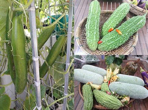 """Cách trồng khổ qua, dưa leo và bí đao tại nhà cho trái """"ăn mãi không hết"""""""