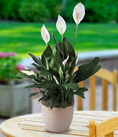 Hà Nội đang ô nhiễm và đây là 5 loại cây giúp thanh lọc không khí trong nhà