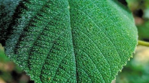 Loài cây lạ có khả năng tiêm chất độc thiêu đốt cơ thể