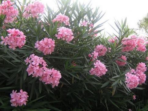 Những loại cây cảnh đẹp nhưng chứa nhiều độc tố