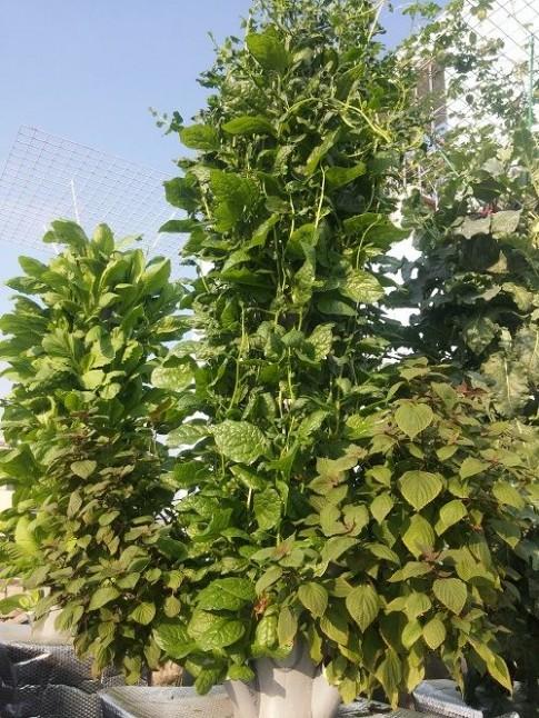 Ông bố Sài thành trồng rau sạch kiểu mới - vừa nhiều mà chẳng tốn diện tích
