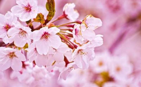 10 loài hoa đẹp nhất thế giới đã ngắm là không thể rời mắt